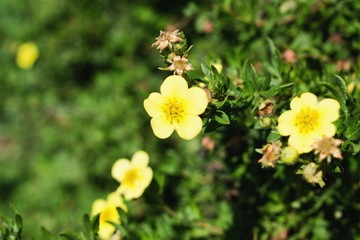 Many little wild yellow flowers. Suitable as a background.