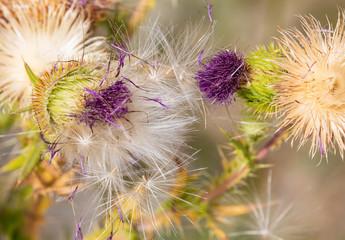 Purple thistle that catch dandelion seeds that drift on wind