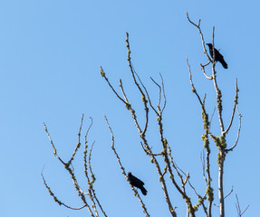 Crows on branch in blue sky, summer, no people, wide shot.