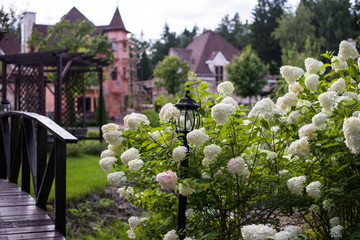Foto auf Acrylglas Hortensie Bush blooming white hydrangea in the Park, hydrangea grows in the recreation area in the private sector (horizontally)