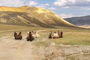 camels herd graze mountains relax