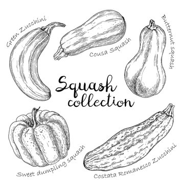 Collection of different vector squashes. Hand drawn graphic. Vintage style.