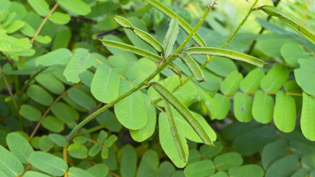 fresh green Senna alata leaves in nature garden