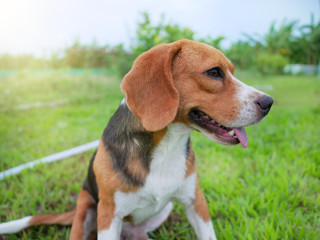 An adorable beagle dog sitting on the green grass after playing in the yard.