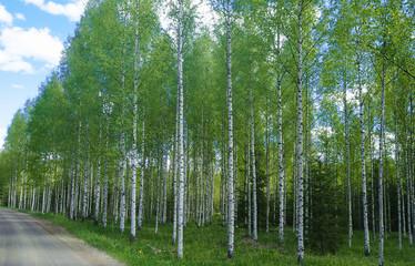 birch wood in finland