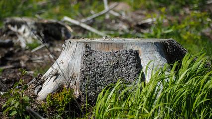 cut-down tree in finland