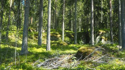 wild forest in finland