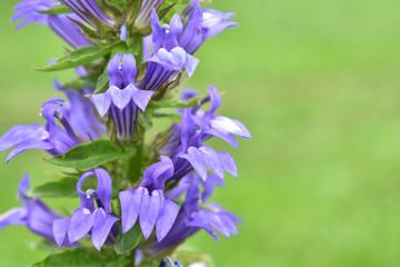 a close up of a blue cardinal flower,