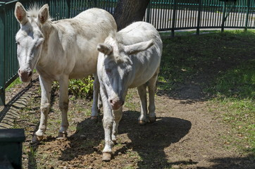 Two white donkeys walk outdoor in the summer park, Sofia, Bulgaria