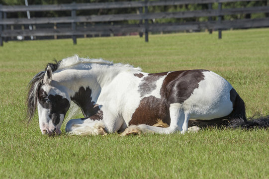 Lying Gupsy horse mare