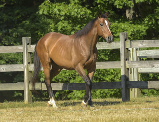 Thoroughbred horse in paddock