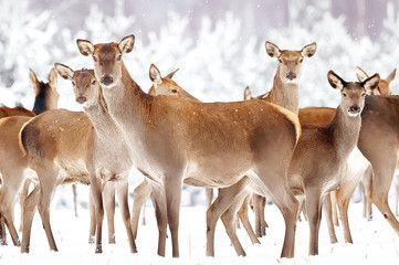Wall Mural - Group of beautiful female deer on the background of a snowy winter forest. Noble deer (Cervus elaphus). Artistic Christmas winter image.