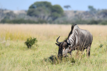 Gnu in Botswana