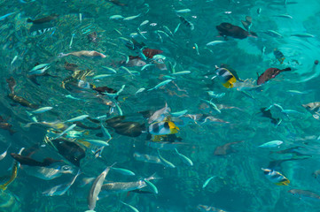 Various tropical reef fish, including double saddle butterflyfish, feeding at the surface of turquoise water.