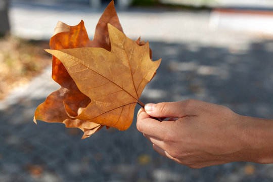 Ahornblätter in der Hand gehalten