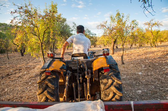Harvest time: farmer on his tractor in an almond grove, Noto, Sicily