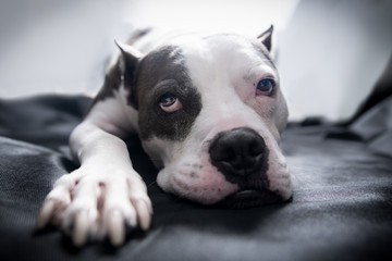 An American Staffordshire Terrier Pitbull dog lays on a blanket with bright backlighting and a sleepy exhausted wistful look on its face