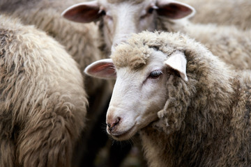 Foto op Aluminium Schapen Sad muzzle sheep livestock. Group wool agriculture meadow animal