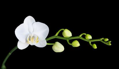 Aluminium Prints Magnolia Moth orchid on black