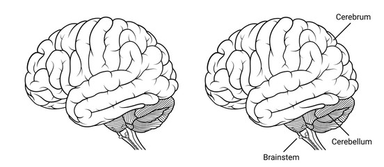 Human brain anatomy Side view outline