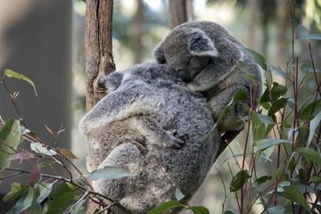 koala with two joeys