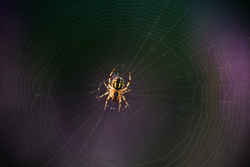 Spider on the web, macro shot