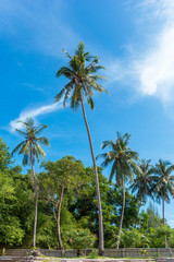 Coconut palm tree on sandy beach with blue sky