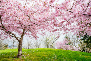 Beautiful full bloom cherry Blossom trees in the early spring season. Pink Sakura Japanese flower in Japanese garden with green grass.