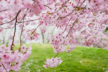 Beautiful full bloom cherry Blossom in the early spring season. Pink Sakura Japanese flower. Japanese Garden. A depth of field with bokeh photo style.