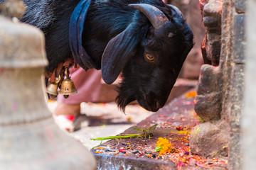 Goat at statue and shrine of Kal Bhairav at Kathmandu Durbar Square, Kathmandu Valley, Nepal