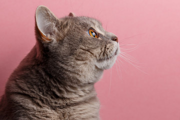 Portrait of cute cat scottish straight in studio with pink background. Copy space. Close up
