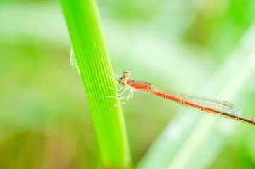 Large Red Damselfly on green grass