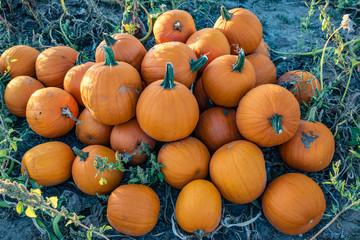 freshly harvested pumpkins, piled up for pick up
