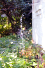 a poisonous spider on a cobweb