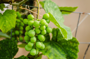 Grapevines with bunches of unripe