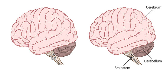 Human brain anatomy Side view flat