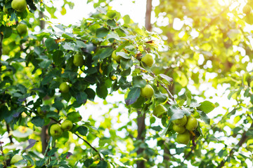 Beautiful garden, pear tree with fruits on branches