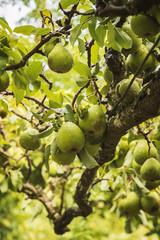 Ripe green garden pears