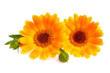 Orange calendula flowers isolated on white background