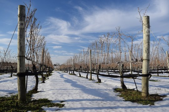 Vineyard on Long Island With Snow
