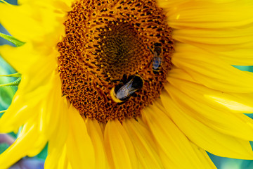 Close-up of a bright yellow sunflower (Helianthus annuus) on which a bumblebee and a bee are sitting.