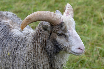 Sheep with horn