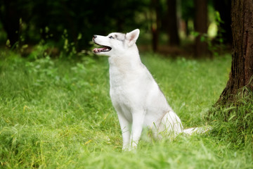 A portrait of a Siberian husky who sits at green grass at a park. A young grey & white female husky bitch has blue eyes. There is a lot of greenery. A big tree is near her. She looks up.