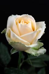 Portrait of pastel vanilla rose on the black background