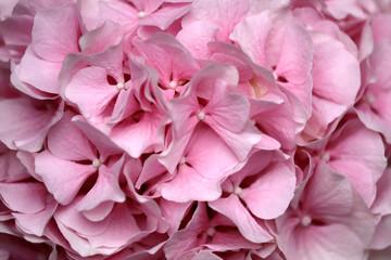 Close-up of pastel pink hydrangea macrophylla (hortensia) flower