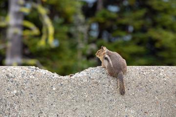 Grey squirrel on a concrete wall