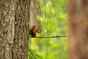 Red squirrel eating a nut on a branch in the forest