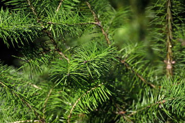 Close-up of fir (abies) evergreen coniferous tree in the family pinaceae