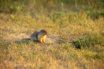 Ground squirrel neat its terrier in a prairie on a sunset