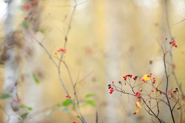 Red ripe rowanberries (Sorbus aucuparia) in autumn forest against blurred defocused background.